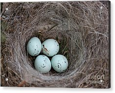 House Finch Nest Acrylic Print