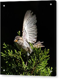 Acrylic Print featuring the photograph House Sparrow by David Lester