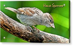 Acrylic Print featuring the photograph House Sparrow Juvenile Poster Image by A Gurmankin