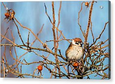 Acrylic Print featuring the photograph House Sparrow by Rose-Maries Pictures