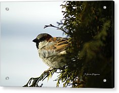 House Sparrow Acrylic Print by Steven Clipperton