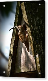 House Wren At Nest Box Acrylic Print