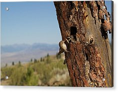 House Wren Feeding Its Young Acrylic Print by Tom Reichner