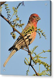 Housefinch 272 Acrylic Print