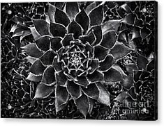 Houseleek Monochrome Acrylic Print by Tim Gainey