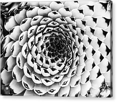 Houseleek Pattern Monochrome Acrylic Print by Tim Gainey