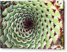 Houseleek Pattern Acrylic Print by Tim Gainey
