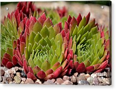 Houseleeks Aka Sempervivum From The Side Acrylic Print