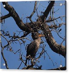 Houston Wildlife Double Crested Cormorant  Acrylic Print by Joshua House