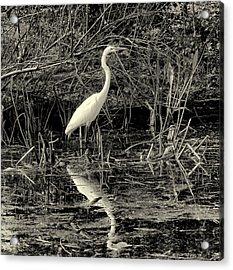 Houston Wildlife Great White Egret Black And White Acrylic Print by Joshua House