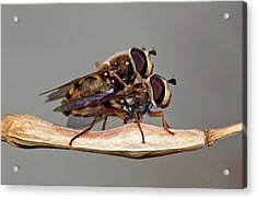 Hover Flies Mating Acrylic Print by Dr. John Brackenbury/science Photo Library