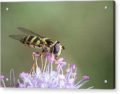 Acrylic Print featuring the photograph Hoverefly - Syrphus Vitripennis by Jivko Nakev