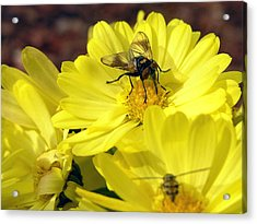 Hoverfly Acrylic Print by Christina Rollo