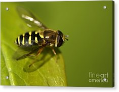 Hoverfly On A Leaf Acrylic Print by Sharon Talson