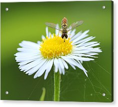 Hoverfly On Flower Acrylic Print by Brian Magnier