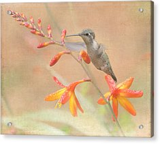 Hovering In The Crocosmia Acrylic Print by Angie Vogel