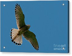 Hovering Kestrel Acrylic Print by Torbjorn Swenelius
