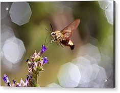 Hovering Pollination Acrylic Print