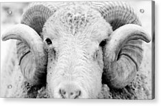 Acrylic Print featuring the photograph How Ewe Doin by Courtney Webster