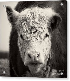 How Now Brown Cow Square Format Acrylic Print by Edward Fielding