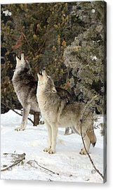 717a Howling Wolves  Acrylic Print
