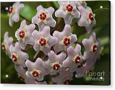 Hoya Waxflower Acrylic Print