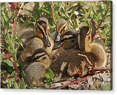 Acrylic Print featuring the photograph Huddled Ducklings by Kate Brown