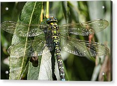 Huge Dragon-fly In Detail. Acrylic Print