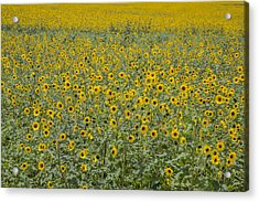 Huge Wild Sunflower Colony Acrylic Print