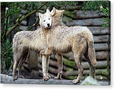 Hugging Arctic Wolves Acrylic Print by Picture By Tambako The Jaguar