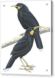 Huia Acrylic Print by Anonymous