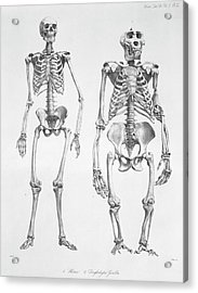 Human And Gorilla Skeletons Acrylic Print by Natural History Museum, London/science Photo Library