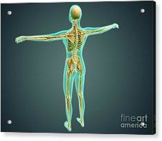 Human Body Showing Skeletal System Acrylic Print by Stocktrek Images