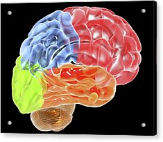 Human Brain Anatomy, Artwork Acrylic Print by Pasieka