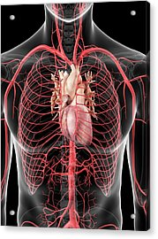 Human Heart And Arteries Acrylic Print by Sciepro