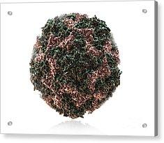 Human Rhinovirus Acrylic Print by Evan Oto