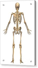Human Skeletal System, Back View Acrylic Print by Stocktrek Images