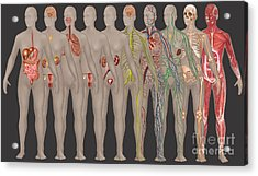 Human Systems In The Female Anatomy Acrylic Print by Gwen Shockey