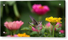 Hummer On Yellow Zinnia Acrylic Print