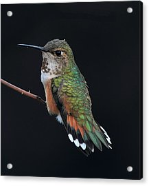 hUMMER Acrylic Print by Ray Morris