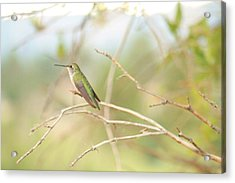 Humming Bird Perch Acrylic Print by Alicia Knust