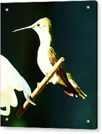 Humming Bird Smiling Acrylic Print