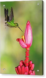 Hummingbird , Green-crowned Brilliant Acrylic Print by Kencanning