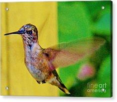 Hummingbird 1 Acrylic Print by Judy Via-Wolff