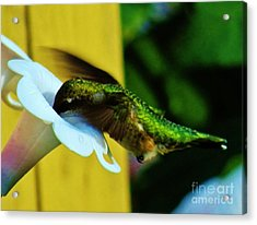 Hummingbird 2 Acrylic Print by Judy Via-Wolff
