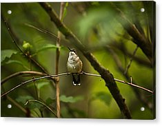 Acrylic Print featuring the photograph Hummingbird 3 by Tammy Schneider