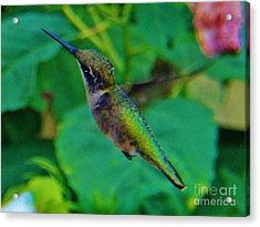 Hummingbird 4 Acrylic Print by Judy Via-Wolff