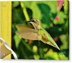 Hummingbird 6 Acrylic Print by Judy Via-Wolff
