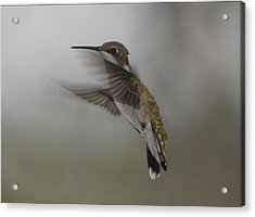 Acrylic Print featuring the photograph Hummingbird 6 by Leticia Latocki