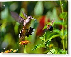 Hummingbird And A Bumblebee 001 Acrylic Print